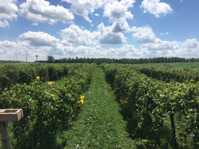 Grape Harvesting Event